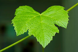Young Vine Leaf