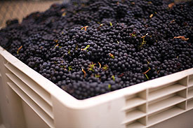 Harvested Pinot Noir Bunches