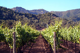 Vines on Kenefick Ranch