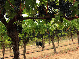 Vines at Rubissow (Photo Credit: Afsoon Razavi)