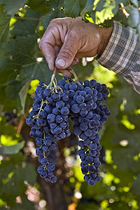 Bunches of Swanson Merlot Grapes