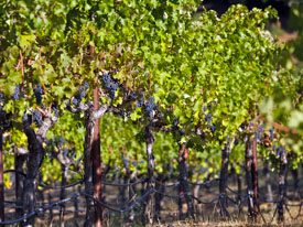 The Vines of Vineyard 7 & 8 (Photo Credit: Curt Fischer)